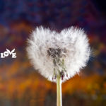 Love Button Global Movement Dandelion